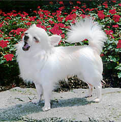 Chihuahua blanc